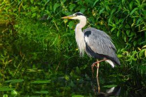 heron, waterbird, bird