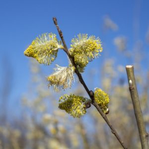 barka, willow flower, willow